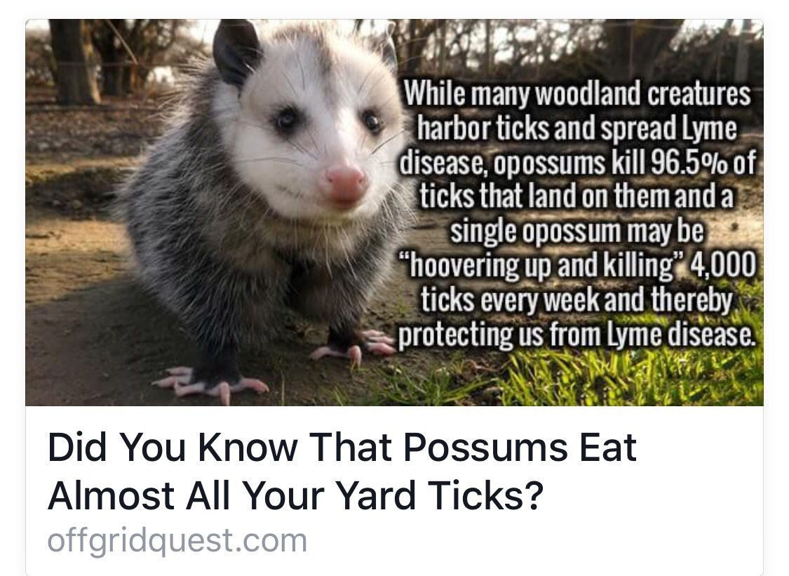 Possums Opossum, Animals, Love your pet day