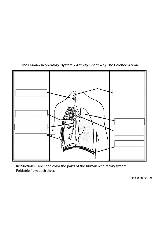 Human Respiratory Systems Activity Worksheet Respiratory System Activities Human Respiratory System Respiratory System