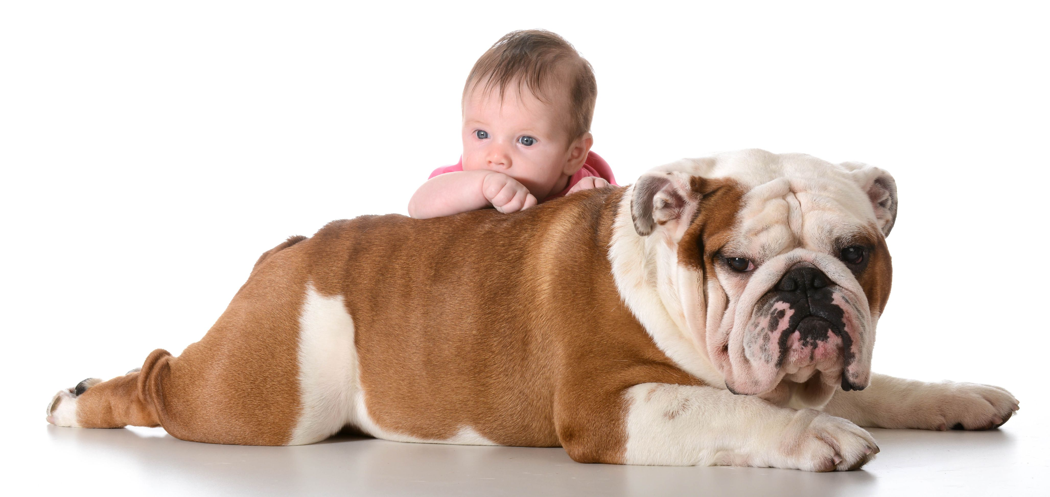 Bulldog Calm Courageous And Friendly Dogs And Kids Bulldog