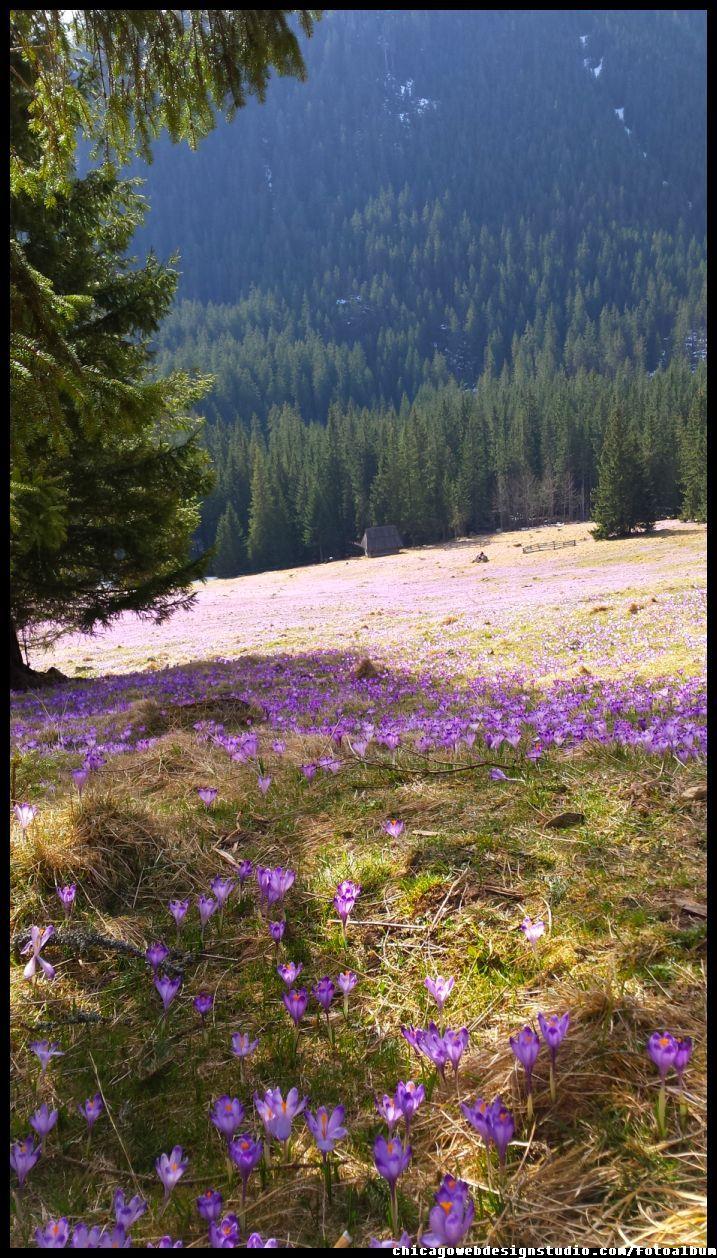 Krokusy Tatry Chocholowska Mountain Landscape Landscape Nature Photography