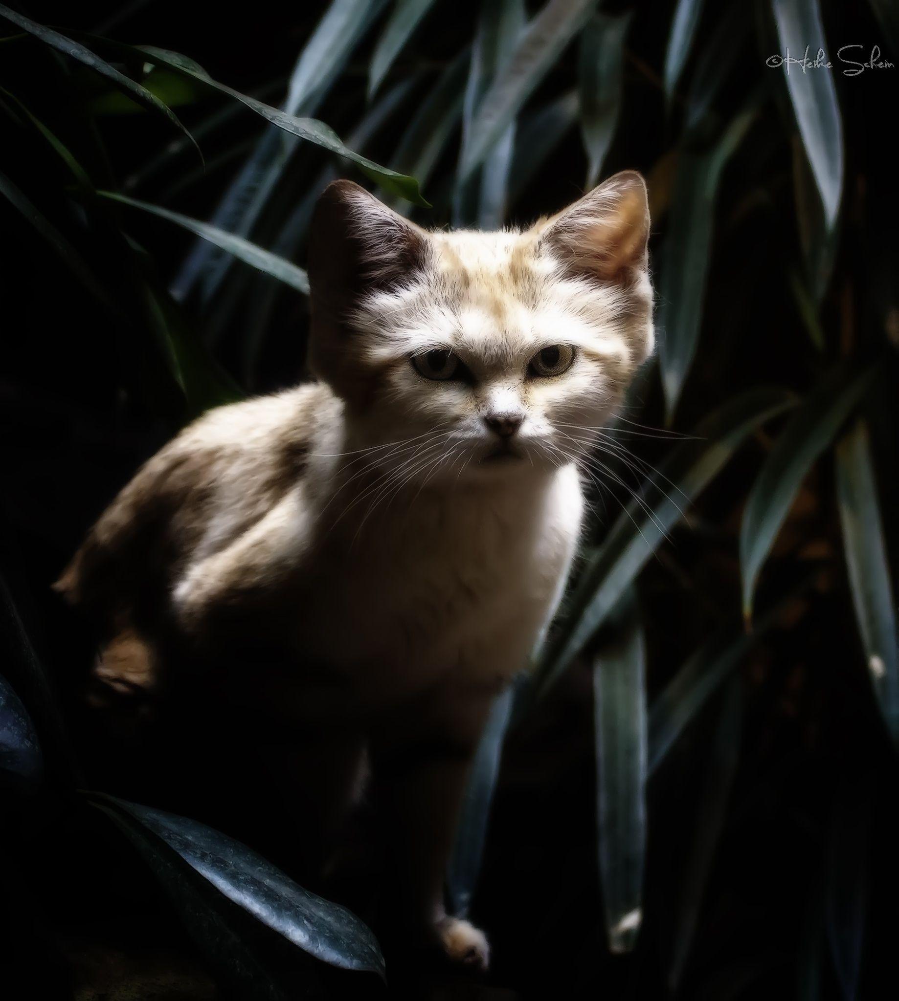 Sandkatze by Heike Schein Sand cat, Cats, Animals