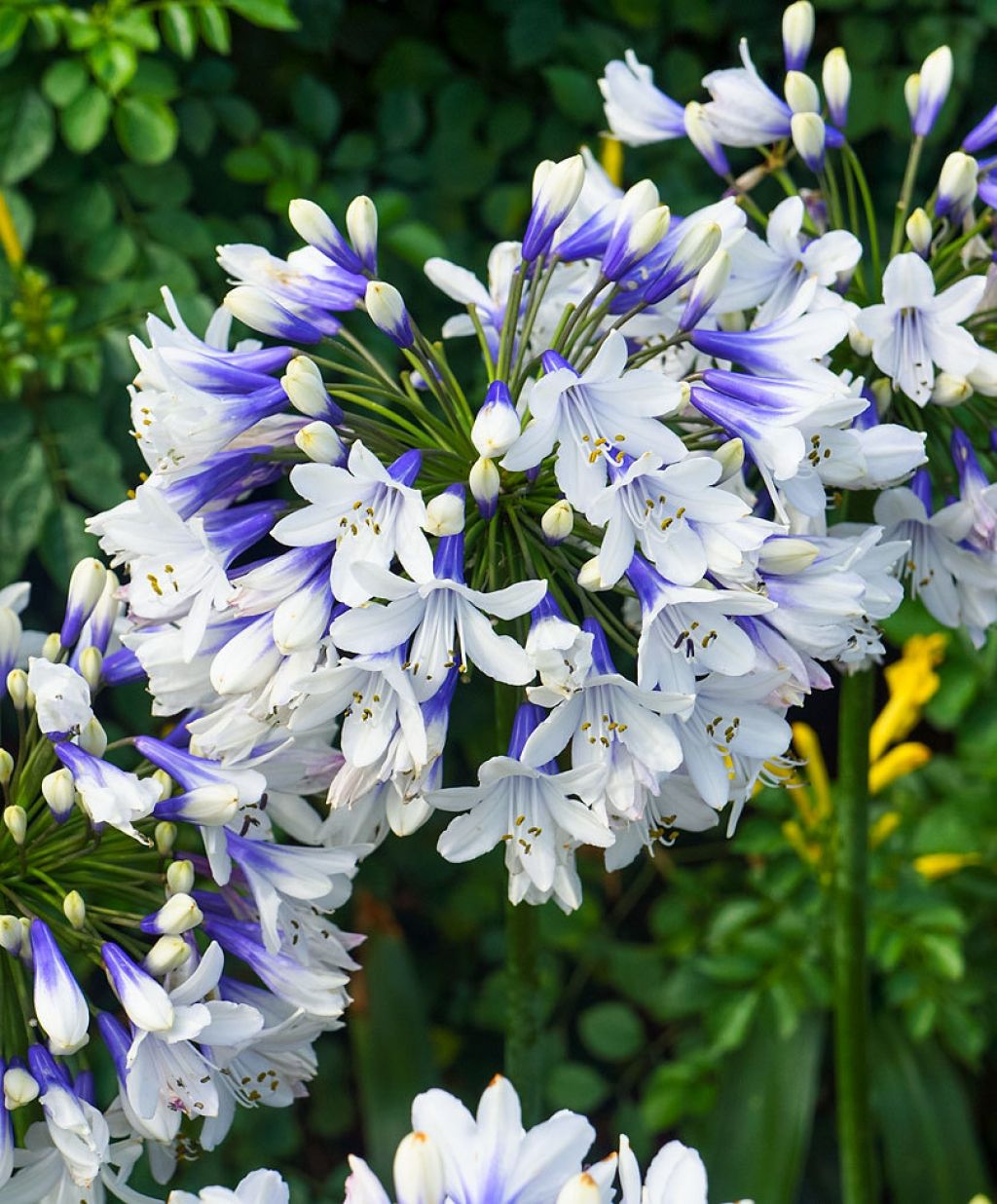 Agapanthus Twister African Lily Plants4home In 2020 Agapanthus Plant Agapanthus African Lily
