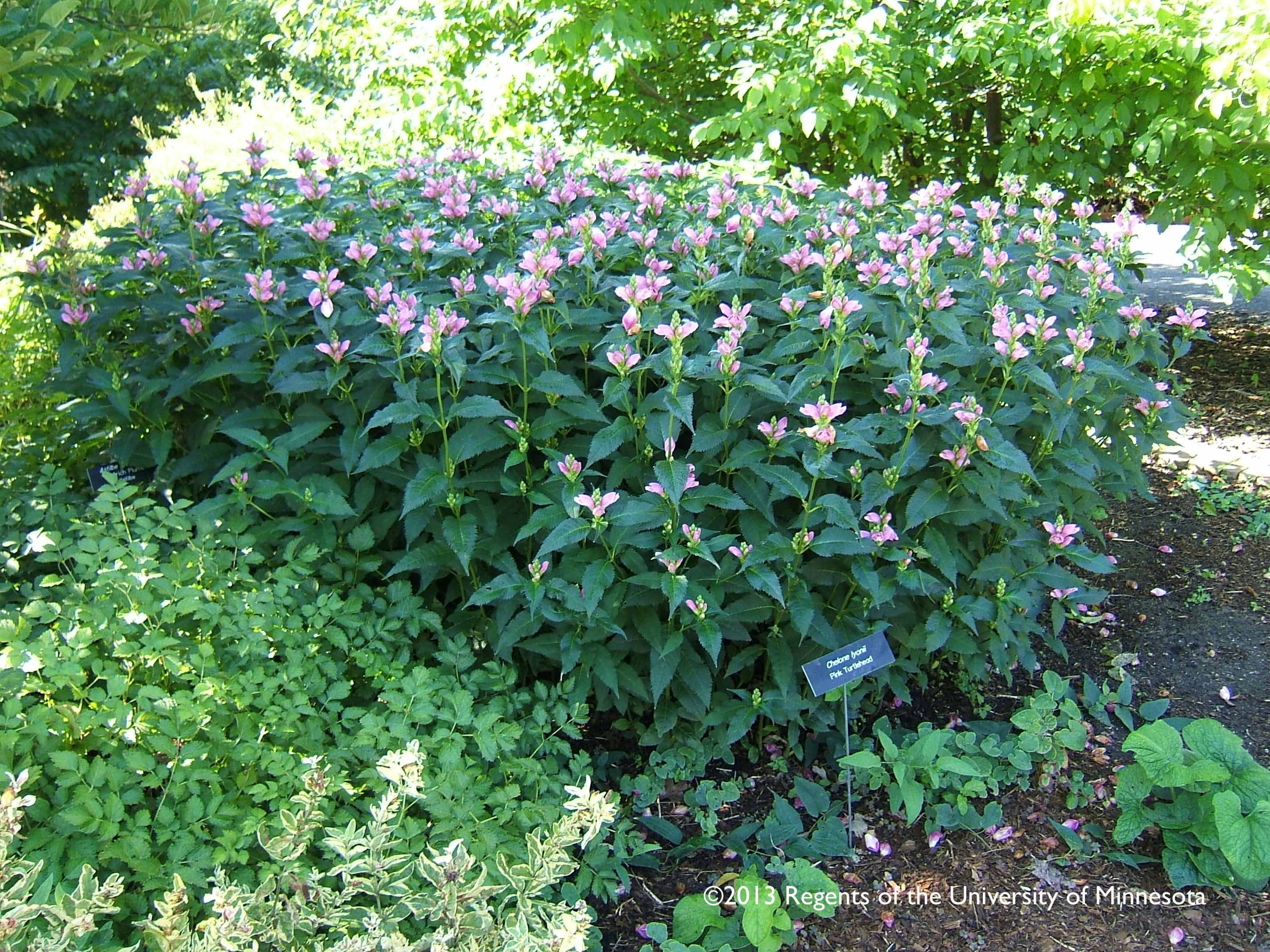 Turtlehead Mass Plant Hardy Herbaceous Perennial 30 High Late