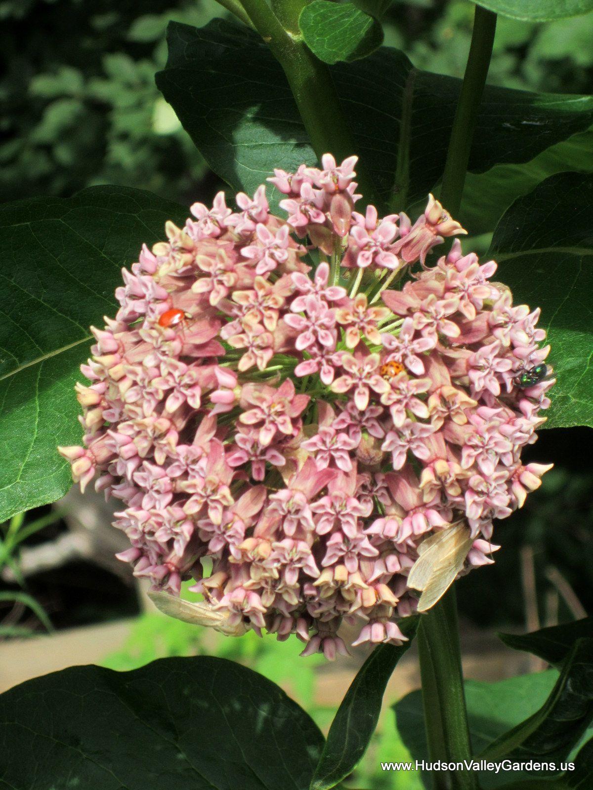 Commonswamp Milkweed Flowers Smell Like Jasmine Leaves Are Food