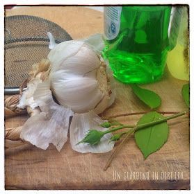 Insetticida naturale contro gli afidi delle rose
