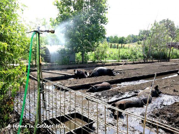 Old Pine Farm CSA tour: pig pen