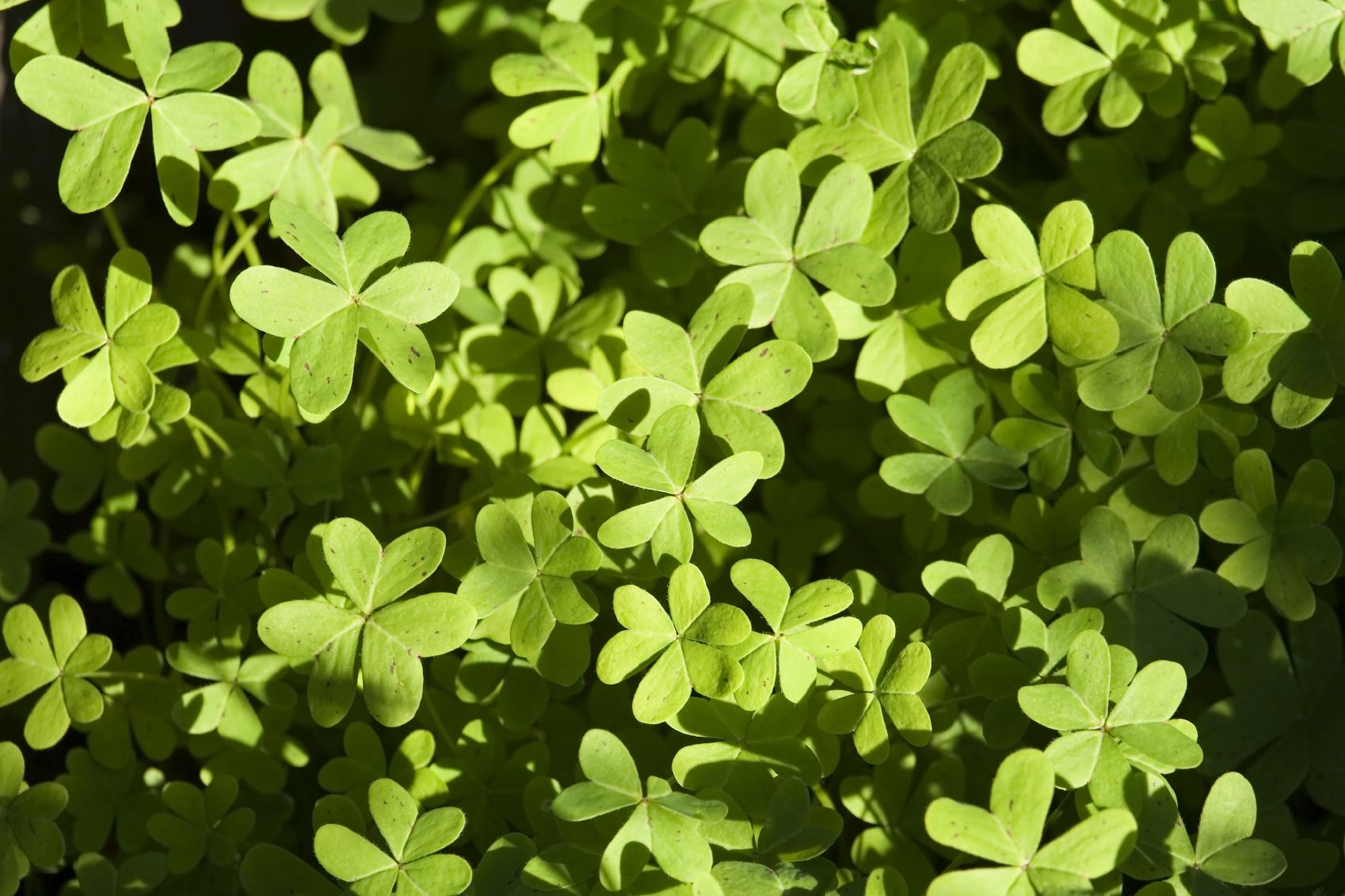 Managing Oxalis Weeds How To Get Rid Of Oxalis Weeds In The Lawn