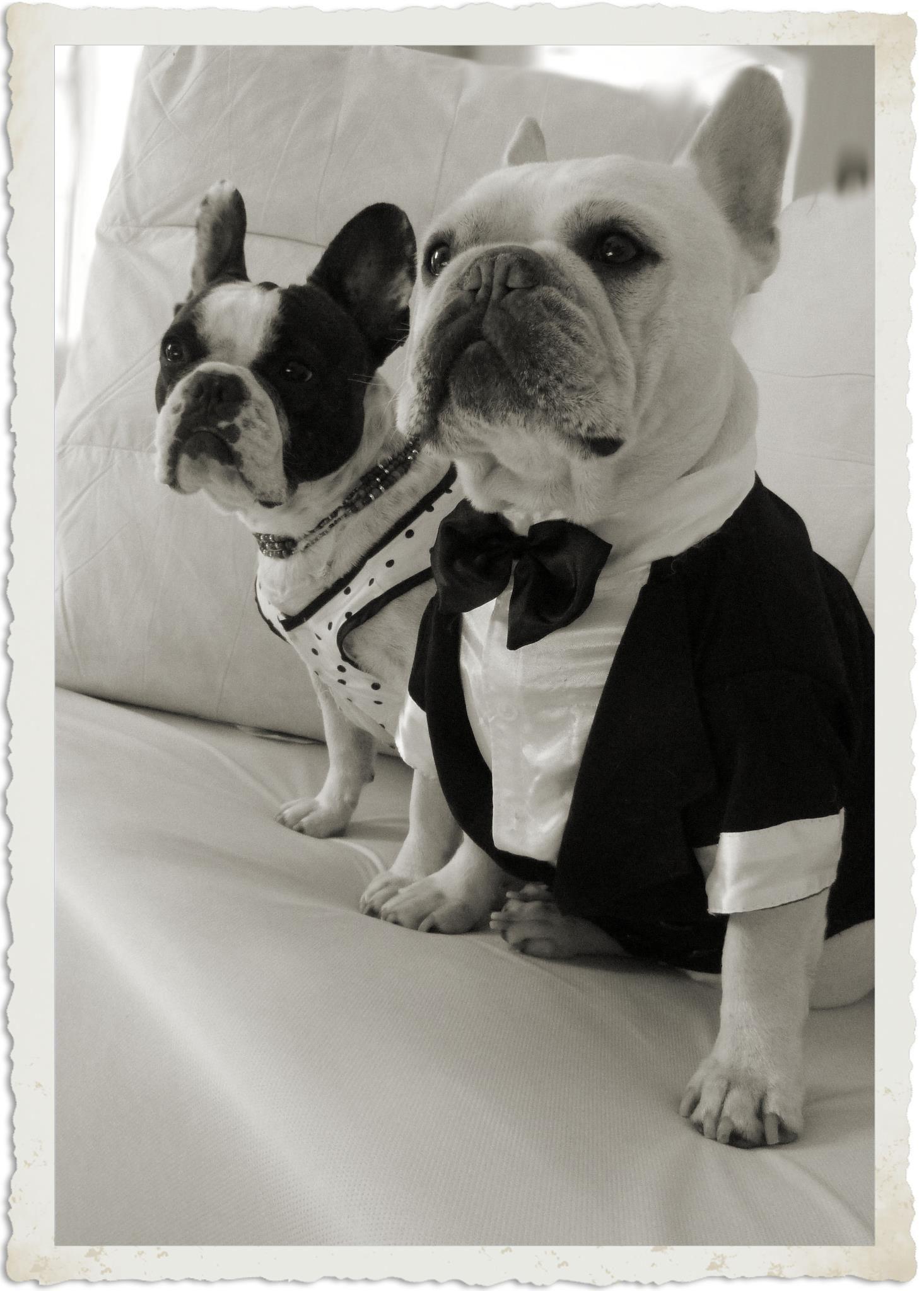 Two French Bulldogs All Dressed Up Buldog Buldog Francuski