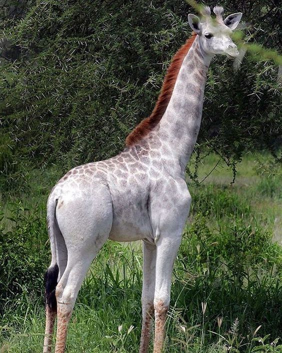 A giraffe calf with leucanism (rare genetic disorder). This is when the colour pigment is not working all that well, and you get an animal with partial (diluted) pigment. Sometimes, you will find a white animal and think it is an albino... Look at the eyes or nose, then, as they will still contain colour pigment. You can't always go on the 'pink eye' theory, as an albino animal, because it can also have light blue or green eyes, but never dark colours. ~ Crying Buffalo #albinoanimals
