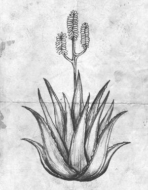 Watering Your Aloe Vera Plants Aloe Barn Botanical