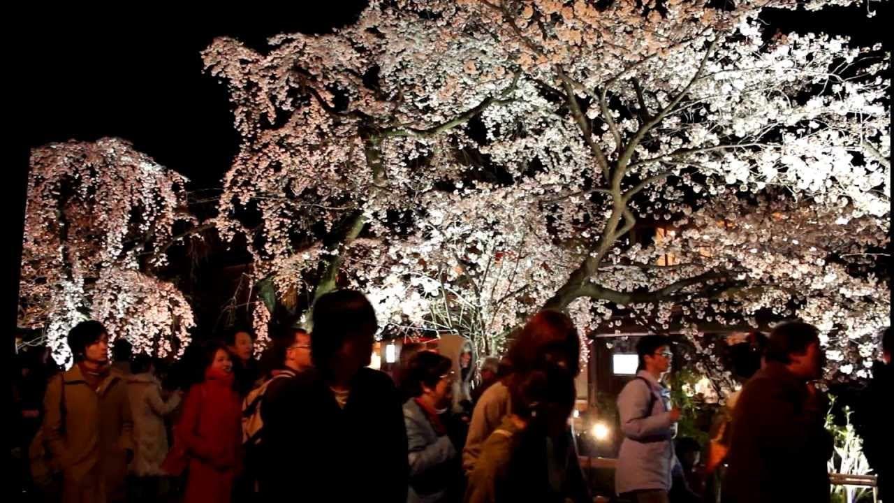Sakura Blossoms At Night Shirakawa Kyoto Kyoto Japan Sakura Spring
