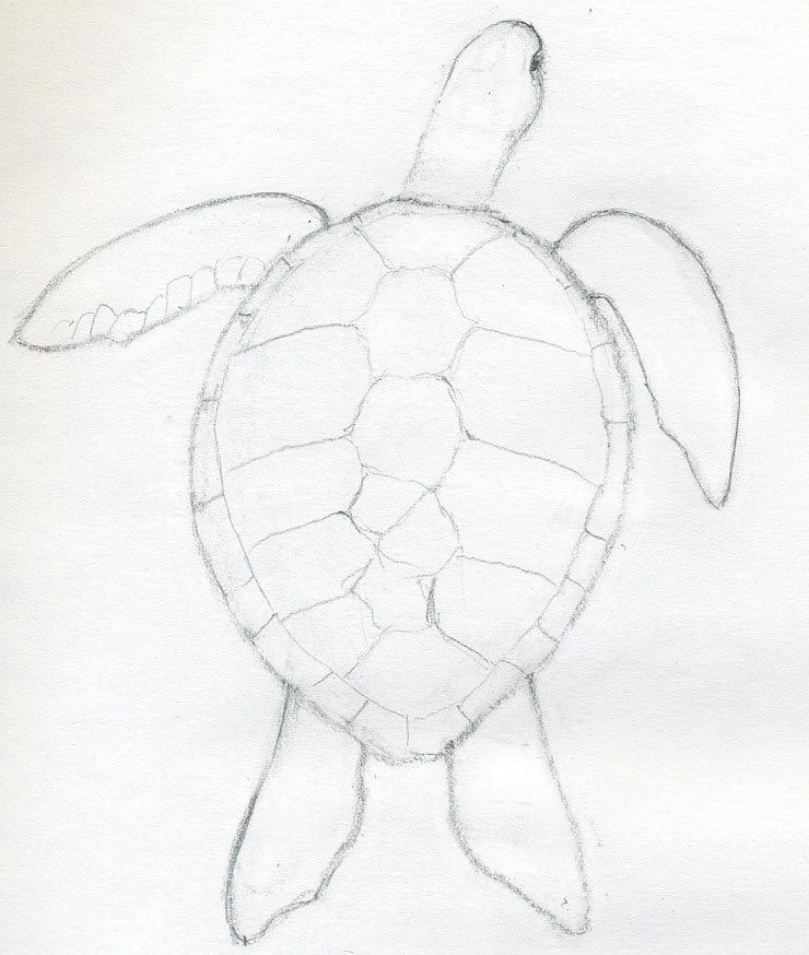 By a weak pencil line draw the outline of scutes those are
