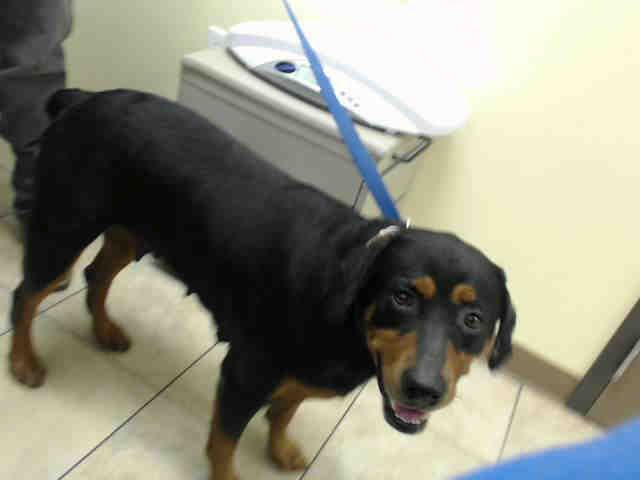 Rottweiler Dog For Adoption In Houston Tx Adn 802522 On