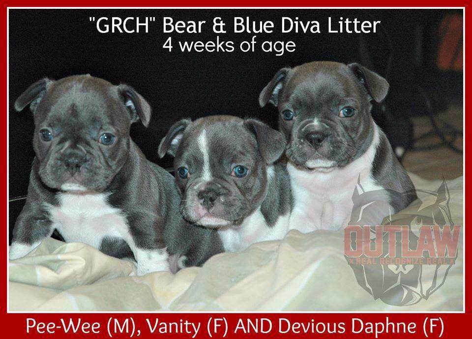 French Bulldog Puppies For Sale If Interested Please Call Me