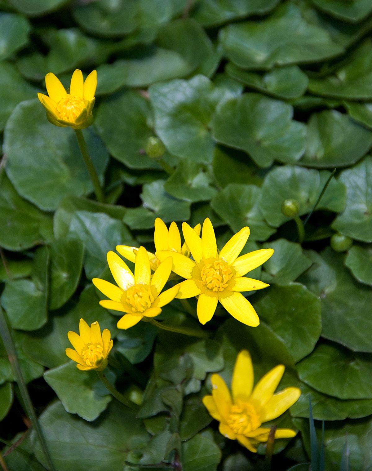 Ficaria Verna Wikipedia Yellow Flowers Names Yellow Flowers Perennial Flowering Plants
