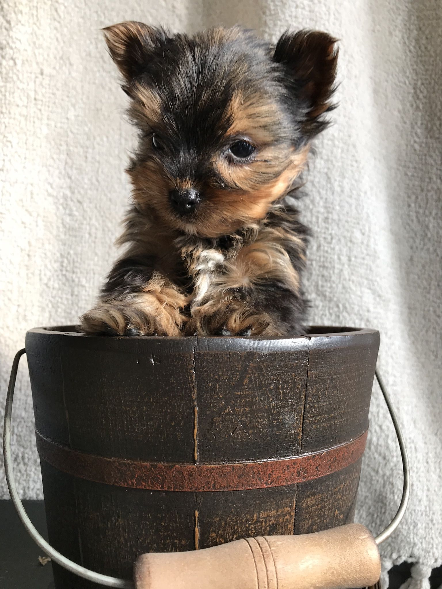 Puppies For Sale Yorkshire Terrier Puppies Yorkshire Terrier Terrier
