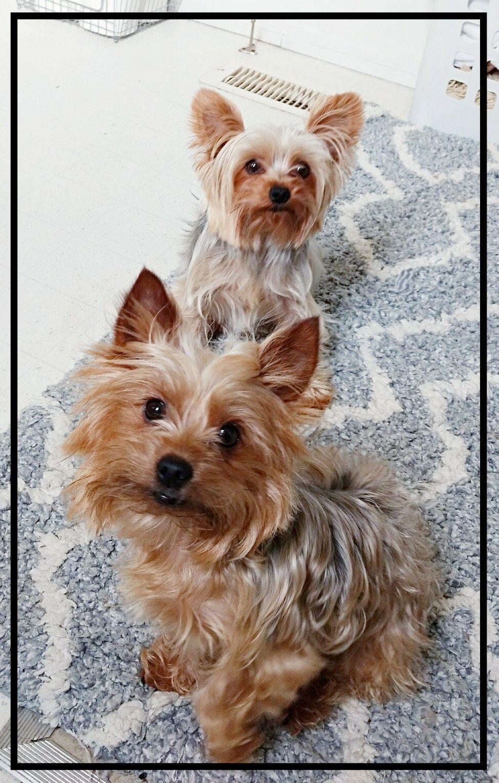 Pin By Gigi Zamb On Yorkies Yorkshire Terrier Dog