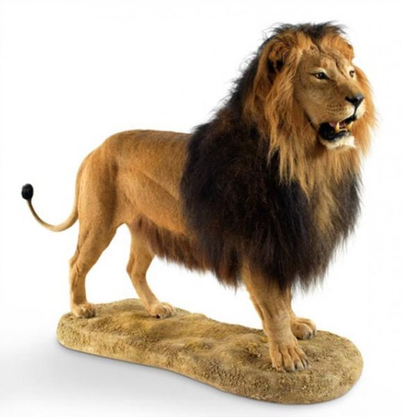 Taxidermy lion