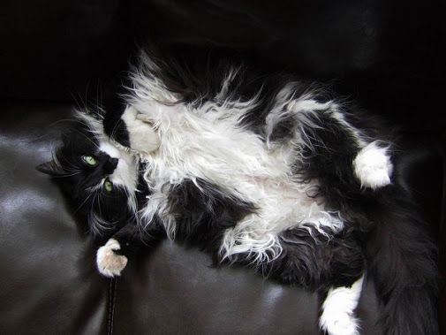 American Longhair Cat Black and White Coat Color | Tuxedo Cats ...