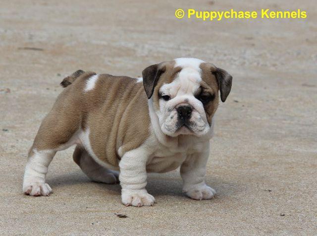 Baby English Bulldog English Bulldog Puppies Sold 2012 With