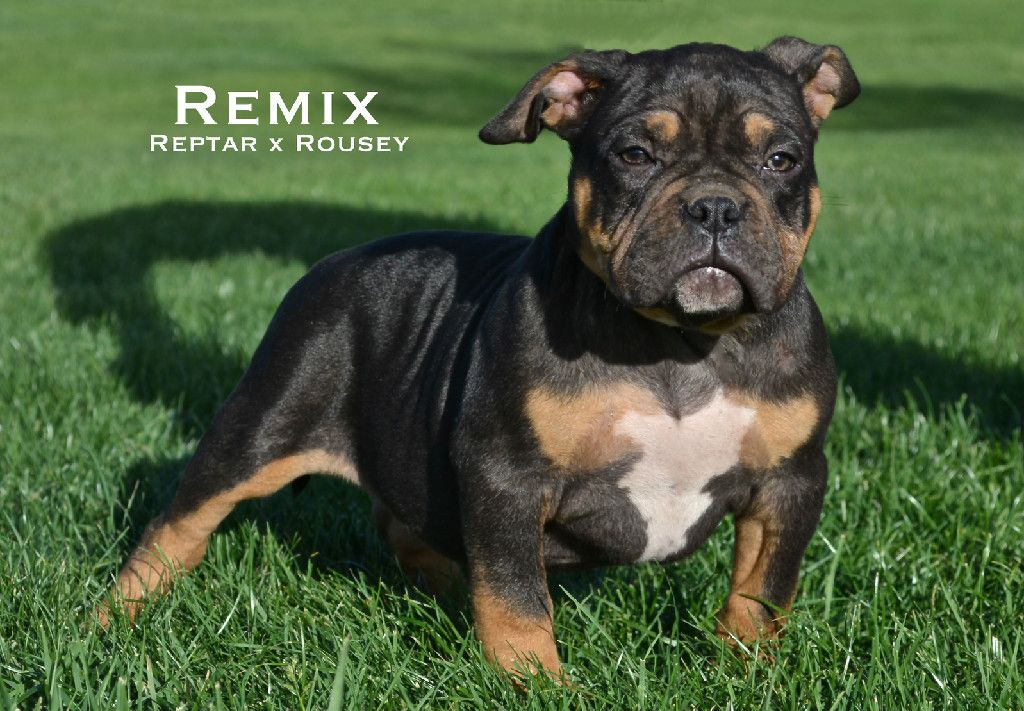 Check out Tri American Bully