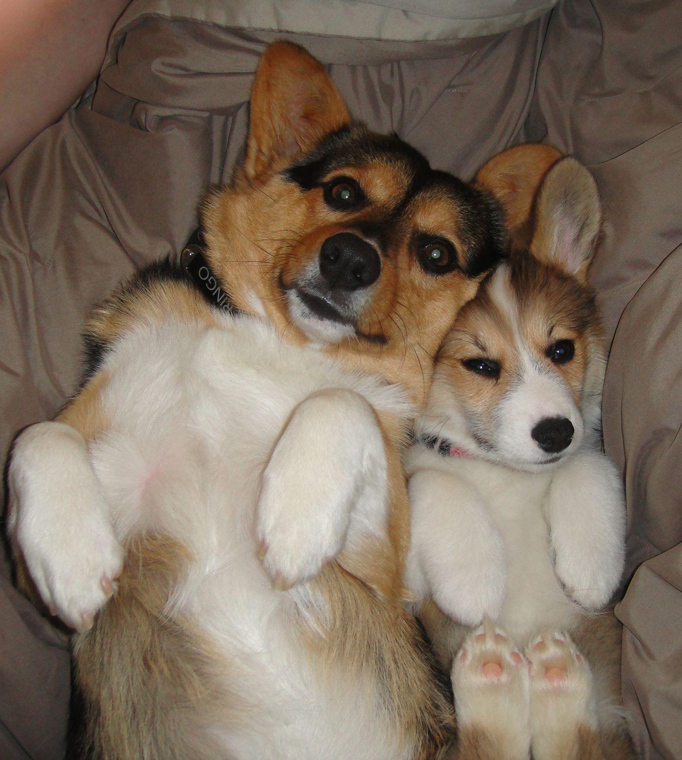 Noble Hearts Pembroke Welsh Corgi Breeder Puppies For Sale Corgi Corgi Dogs For Sale Corgi Breeders