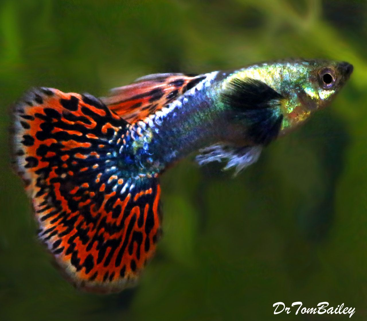 Premium Rare Fancy Dumbo Ear Male Guppy 1 To 1 2 Long Guppy Tropical Fish Guppy Fish