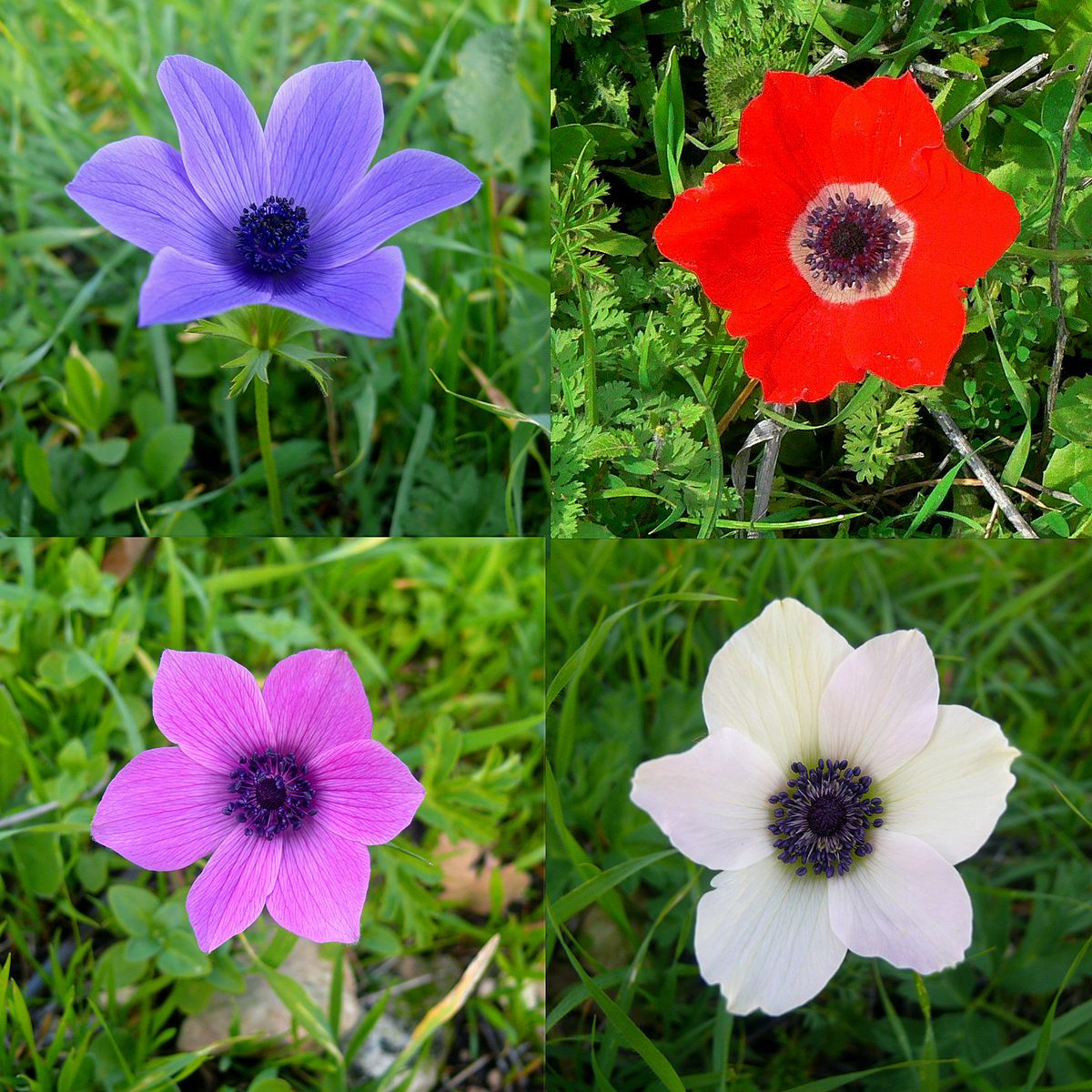 Anemone Coronaria Also Called Windflower Or Simply Anemone Is A Bulb Native To Northern Africa Southern Europ Anemone Flower Artificial Flowers Decor Anemone