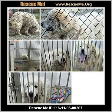 Pennsylvania Great Pyrenees Rescue Adoptions Rescueme Org