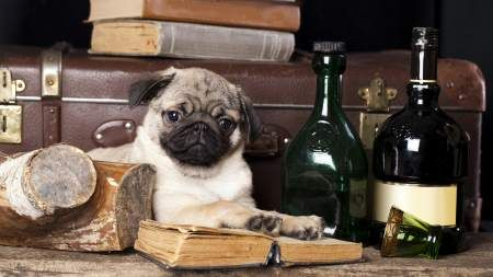 Cute Pug Uhd 4k Wallpaper 3840x2160 Cute Pugs Pug Wallpaper Dog Canvas