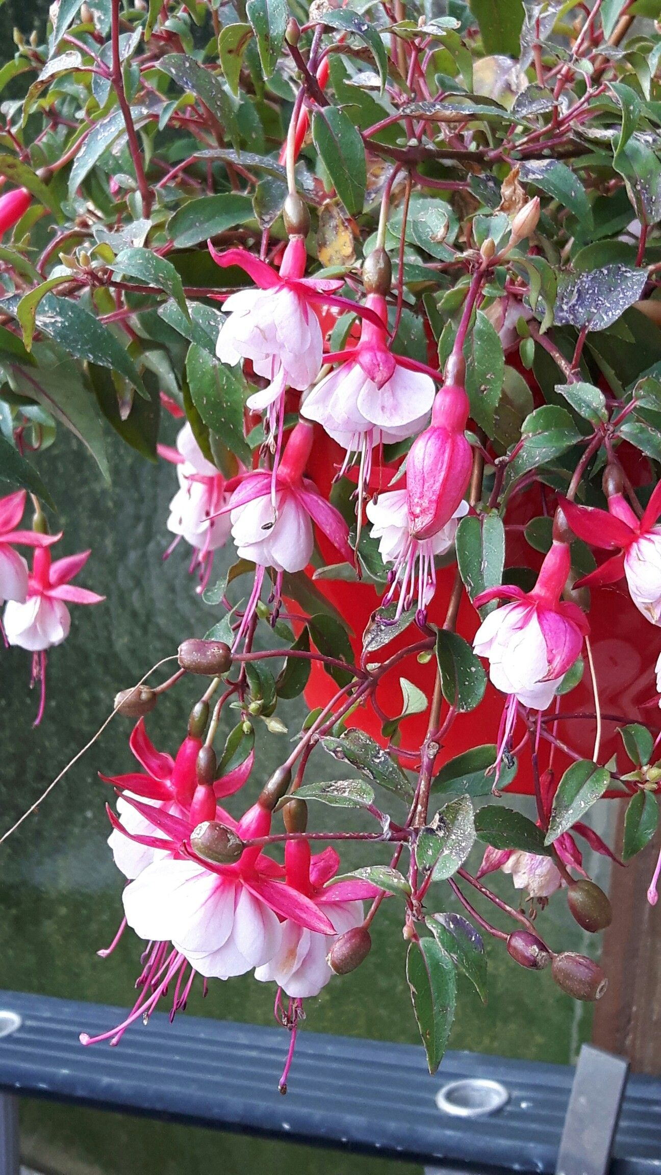 Fuchsia at my garden 31/5/16