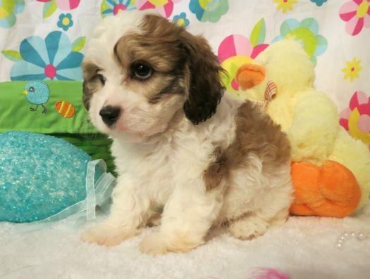 Cavachon Puppies For Sale Cavachon Cavachon Puppies Puppies