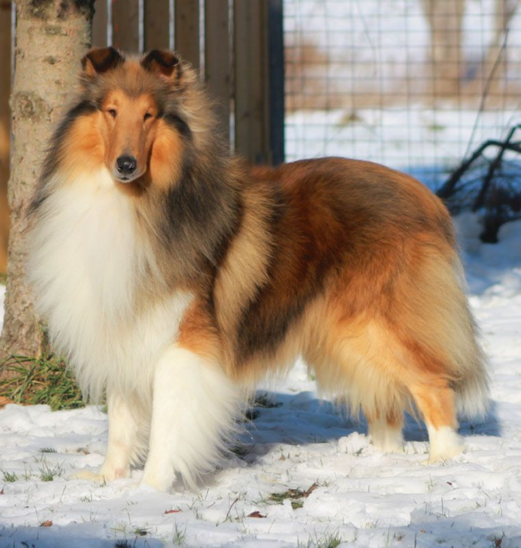 Glasgowhill Collies With Images Rough Collie