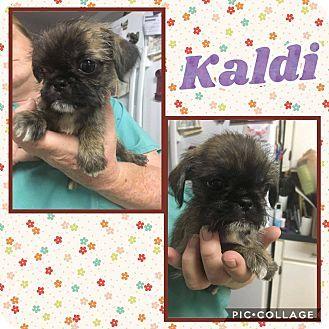 Shih Tzu Pug Mix Puppy For Adoption In Ringwood New Jersey Kaldi With Images Puppy Adoption Shih Tzu Adoption