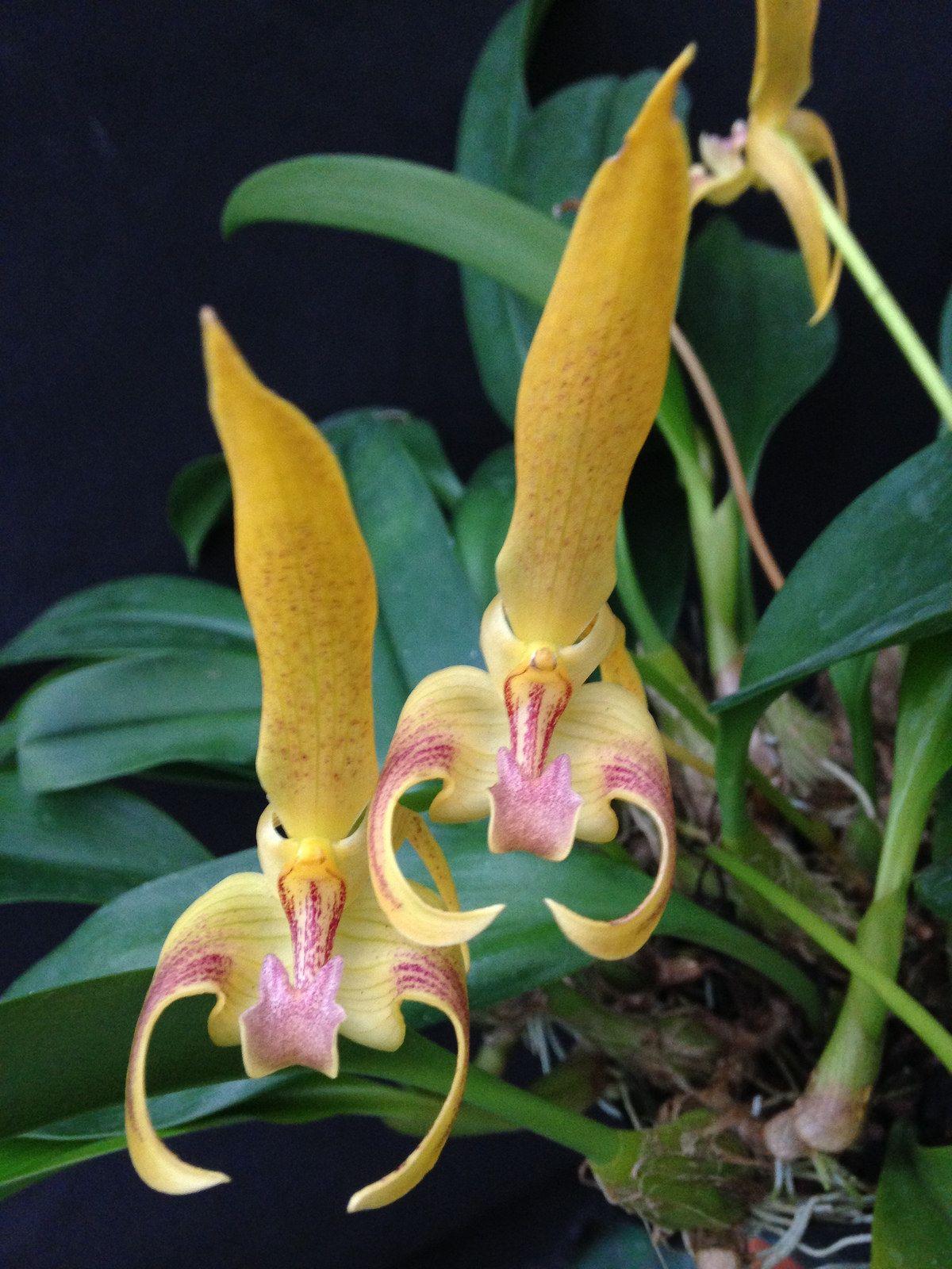 Bulbophyllum lobbii ukathyus goldu amaos scorpion orchid and flower