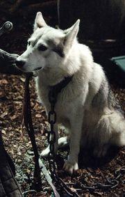 Lady (Sansa's direwolf)