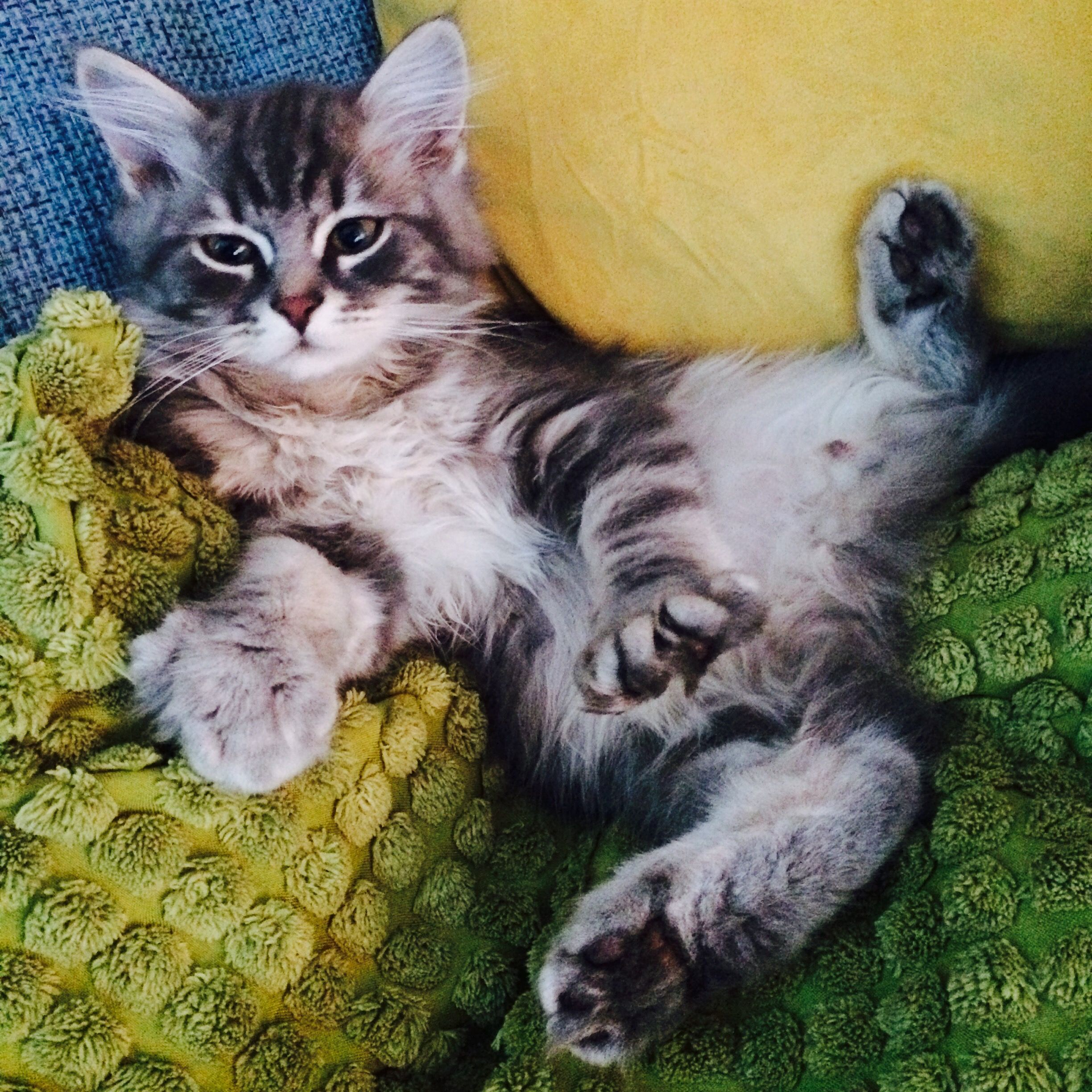 Pin On Billy Blue The Siberian Cat