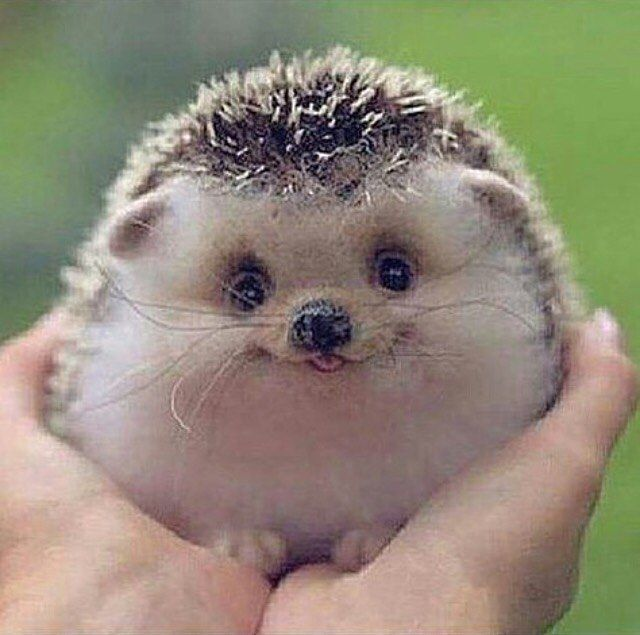 Cute Baby Hedgehog by anmlcubs