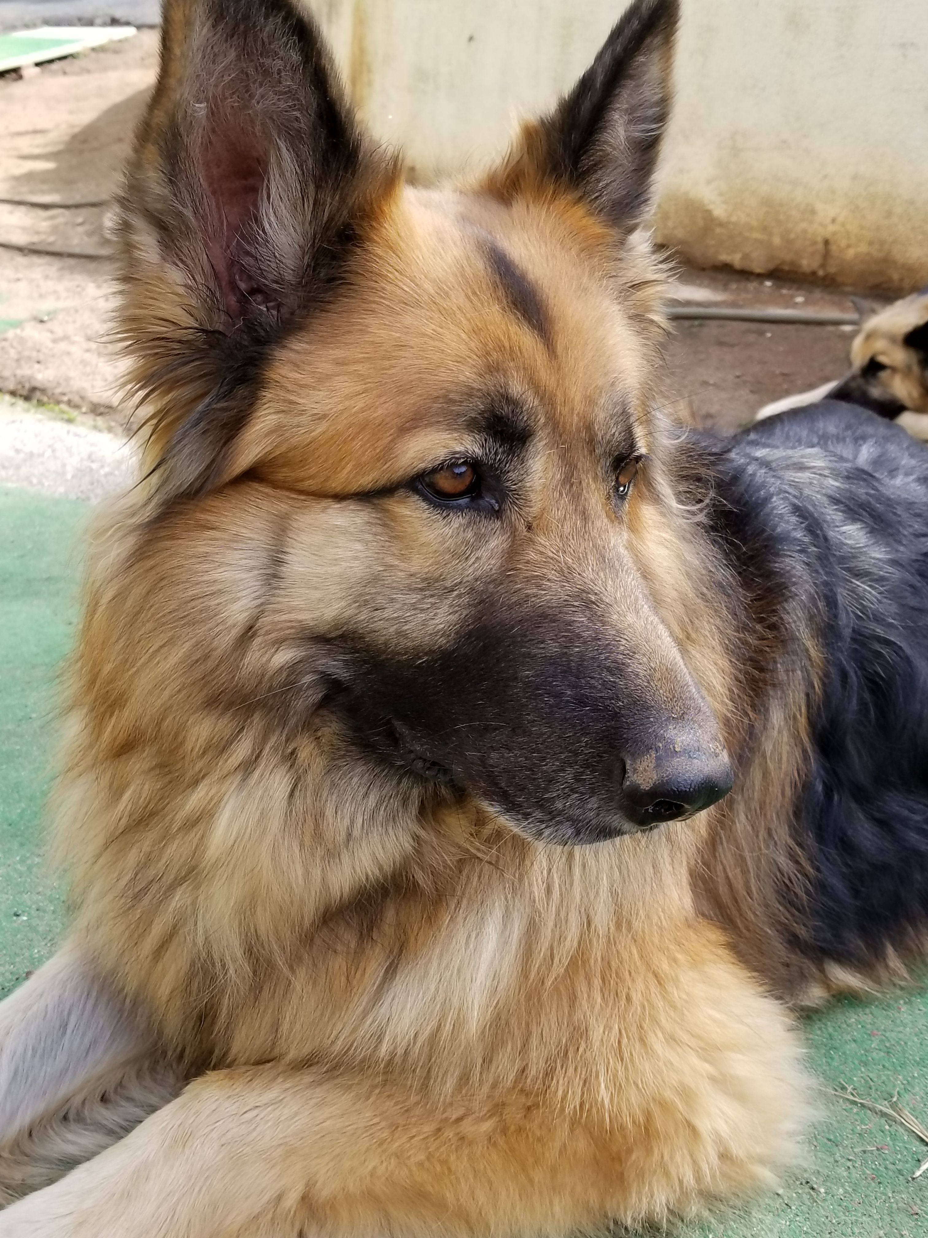 My Rescue Quince Dogs And Puppies German Shepherd Dogs