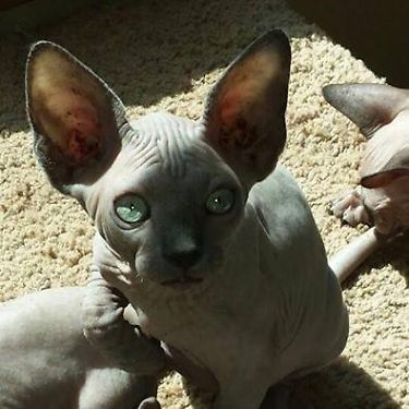 A Bald Sphynx Kitten Forsale California Solidbluegreeneyes Solidchocl Hairless Cats For Sale Sphynx Cat Hairless Cat