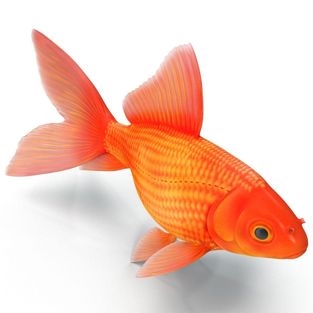 goldfish 3 3d c4d