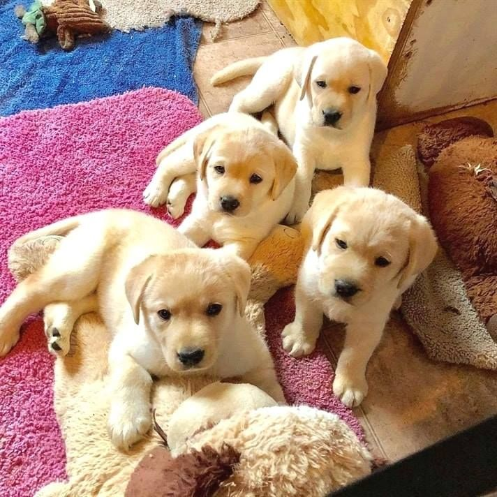 Labrador Retriever Puppies For Sale Houston, TX