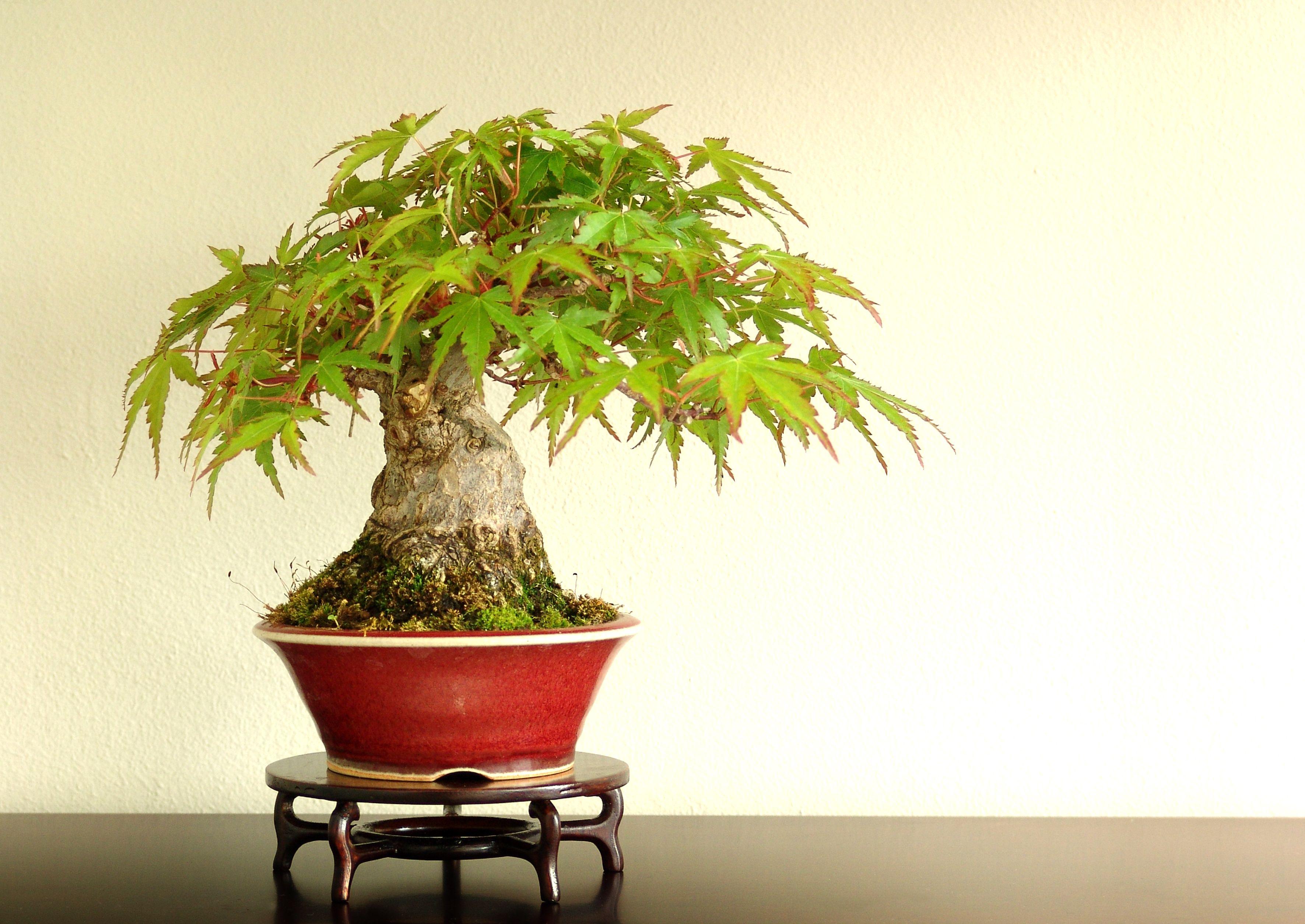 pin von ramona dee auf mame bonsai kusamono shitakusa. Black Bedroom Furniture Sets. Home Design Ideas
