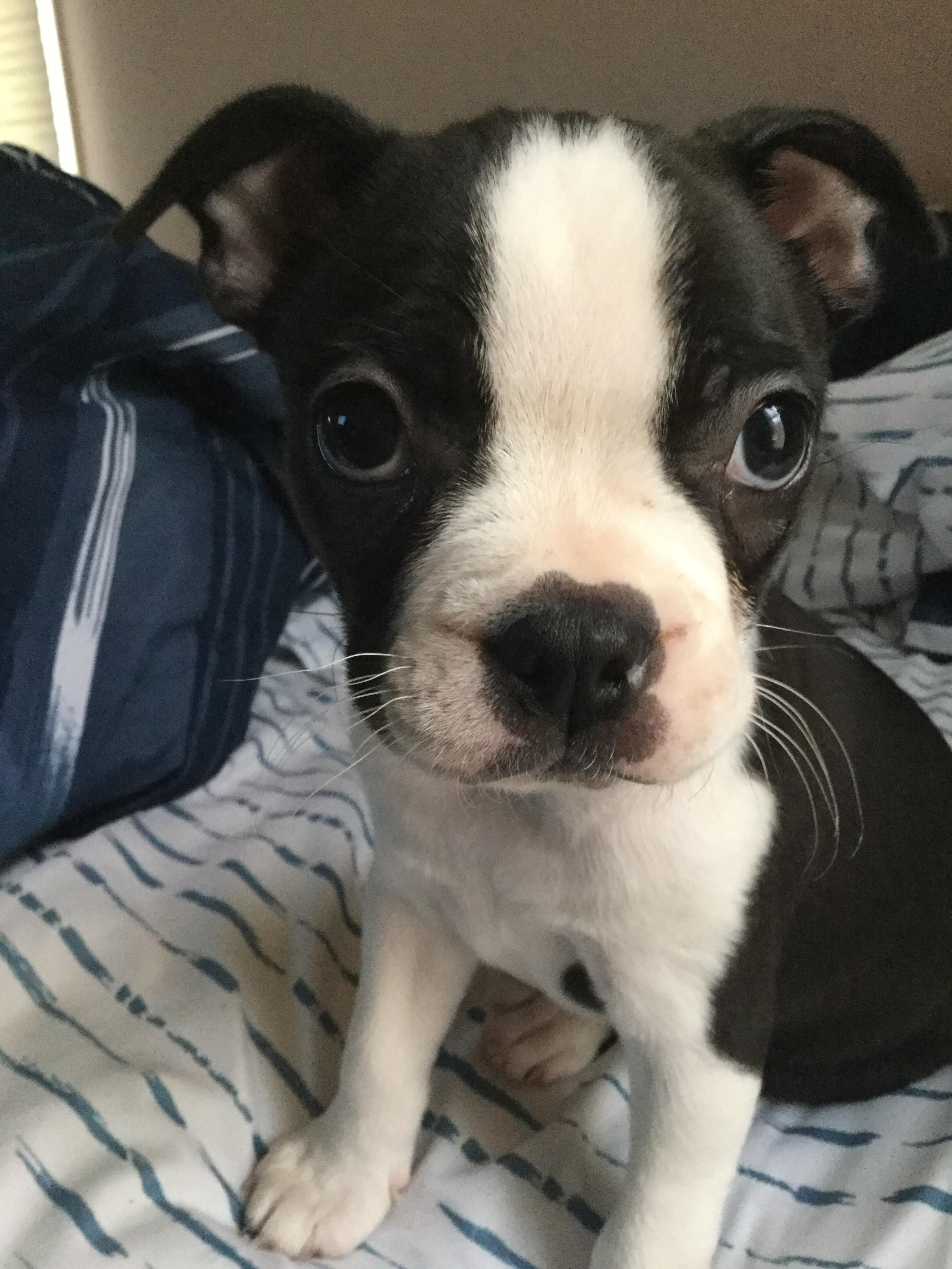 Daisy at weeks old iftsgchft cute pinterest dog