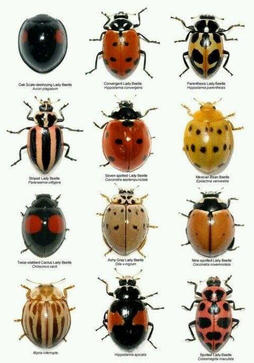Photo of Ladybugs