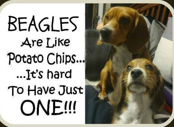 Beagle Friendly And Curious Beagle Baby Beagle Beagle Puppy