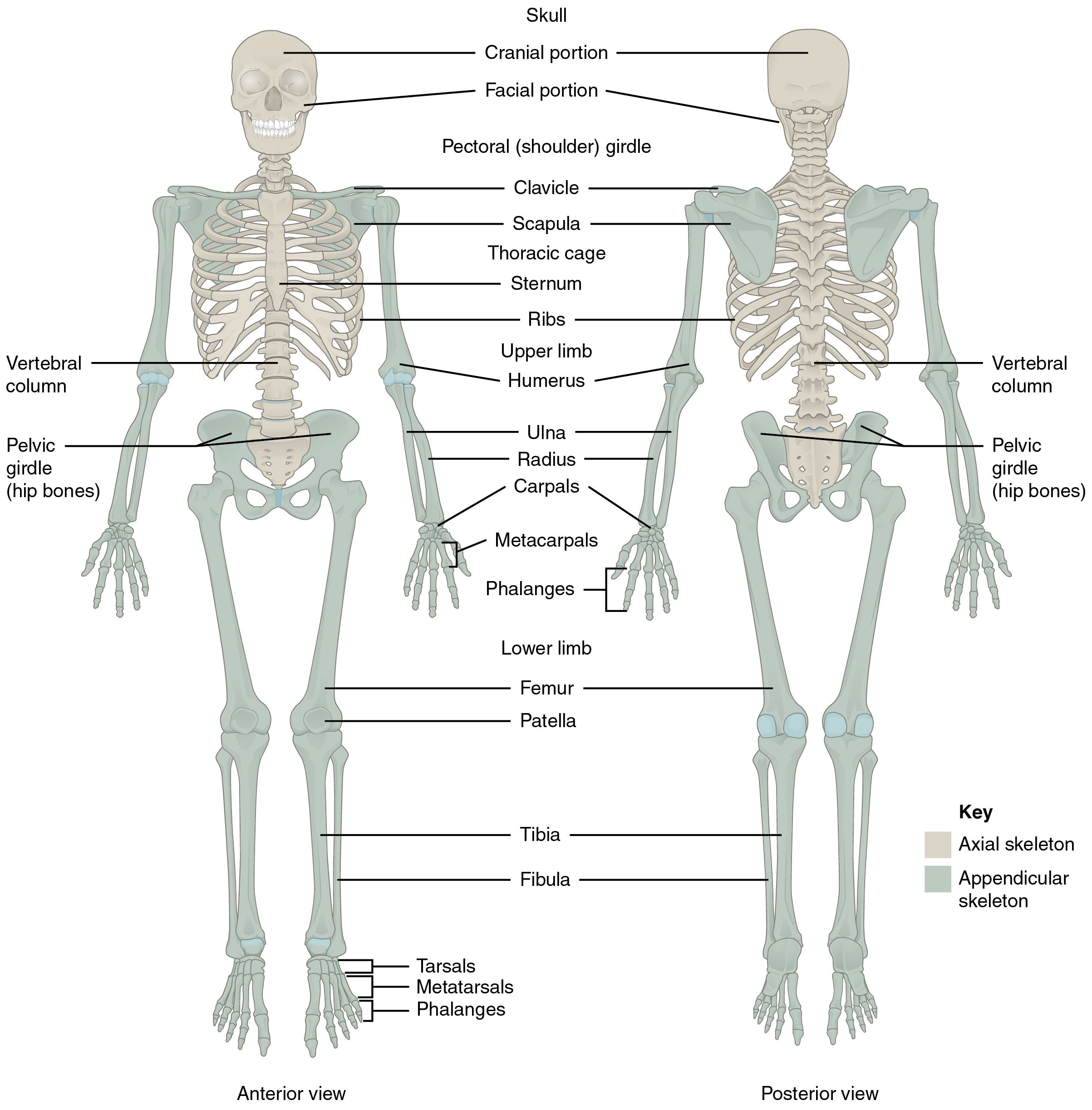 Back Bones Structure Bone Structure Lower Back Humananatomybody