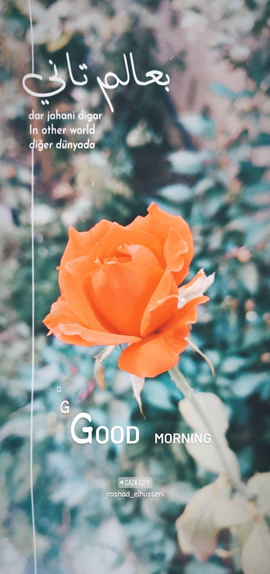 صباح الخير Good Morning Flowers Rose Plants