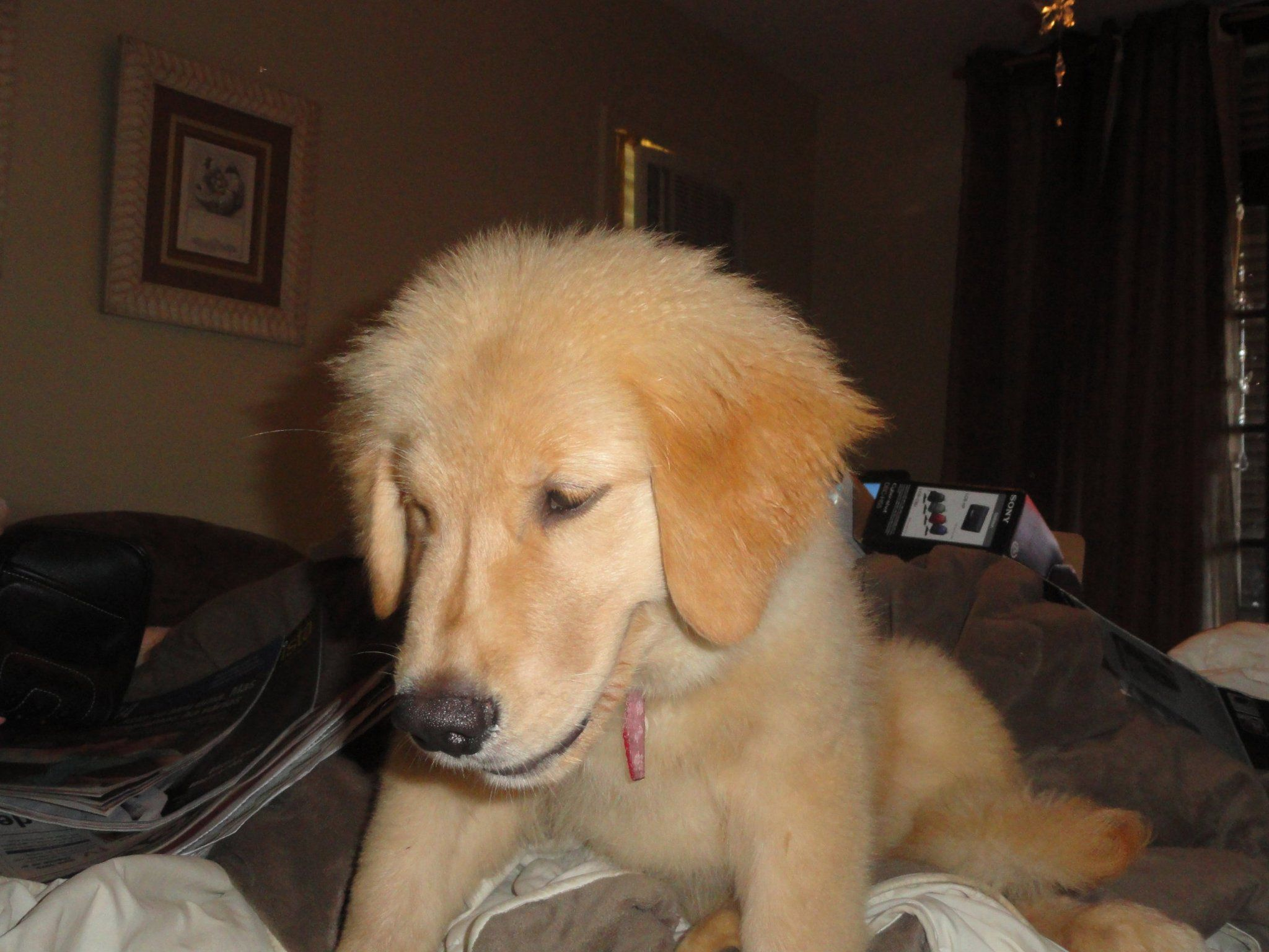 she is a baby golden in my room