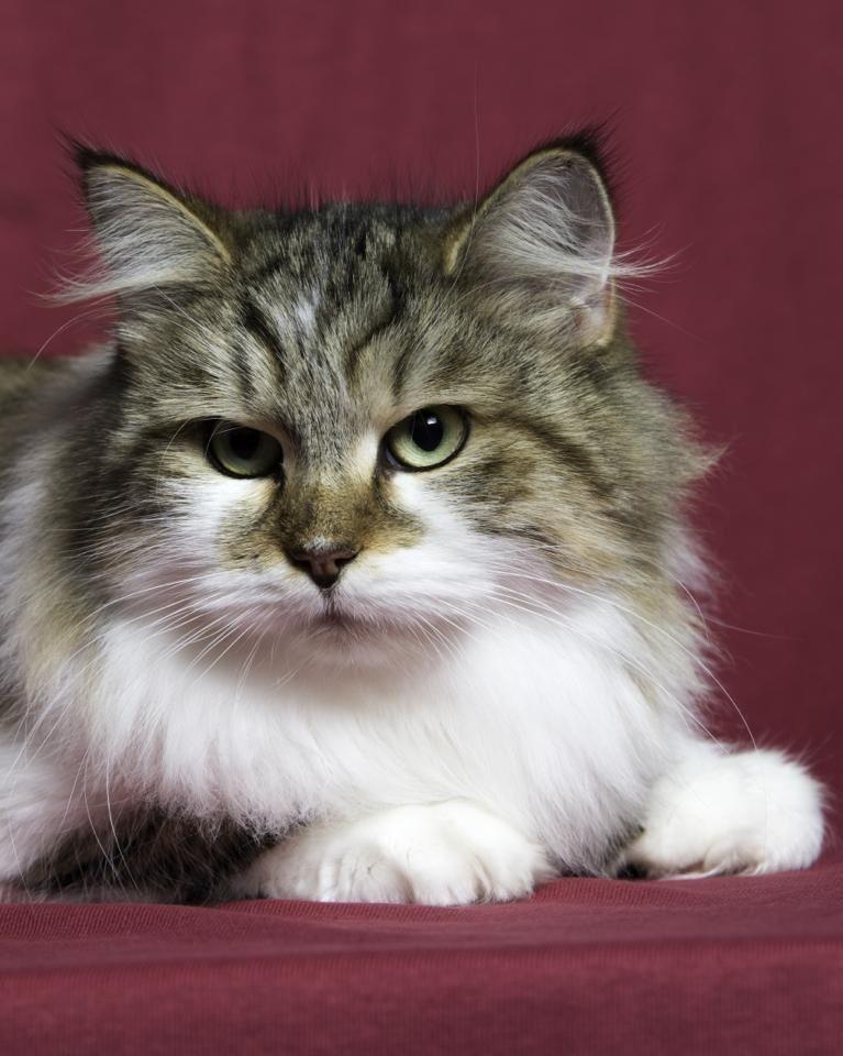 Miakoschka Siberian Cats - Breeder, Cattery - Brisbane